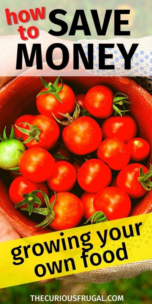 How to save money growing your own food (bowl of ripe red baby tomatoes in the backyard)
